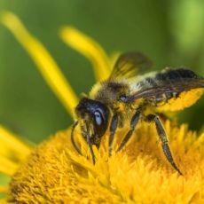 Biene die auf einem Löwenzahn sitzt