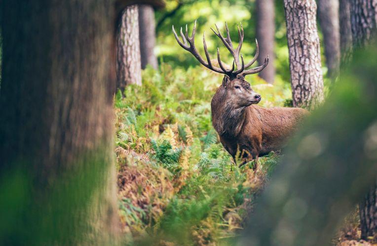 Hirsch steht im Wald