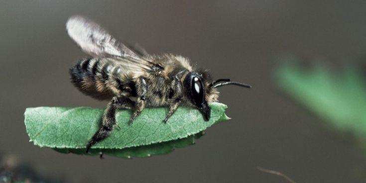 Wildbiene trägt ein Blatt