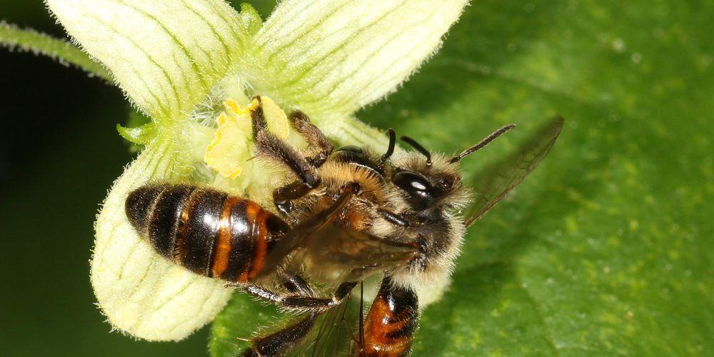 Wildbiene an einer Blüte