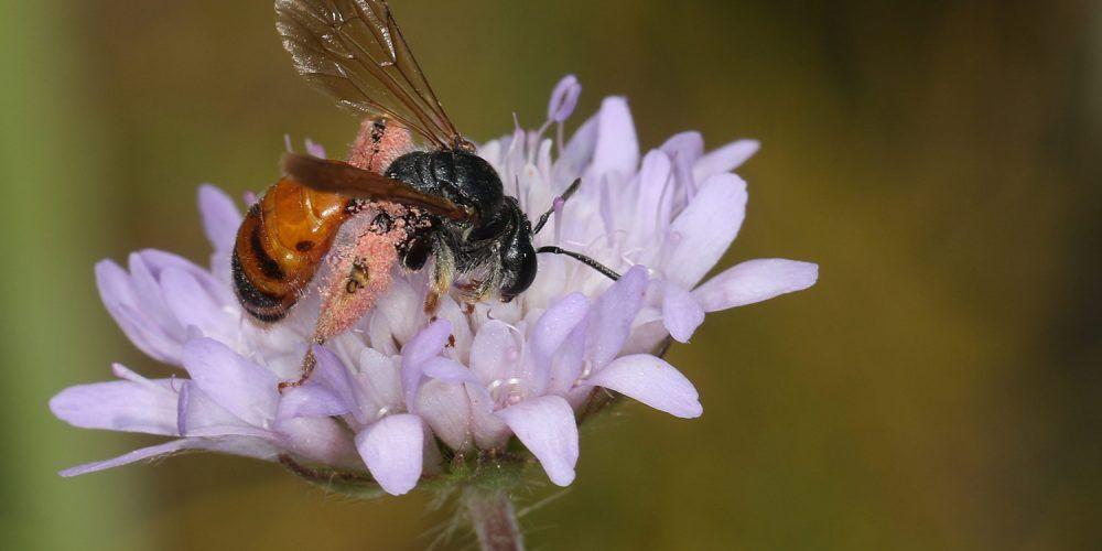 Wildbiene in einer Blume