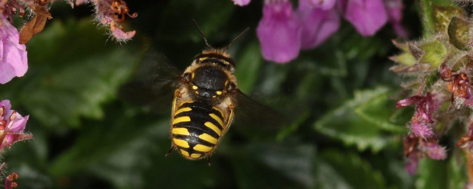 Wildbiene fliegt zwischen Blüten