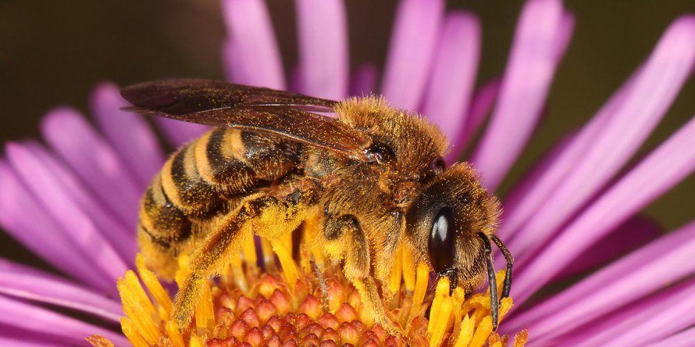 Wildbiene mitten in einer Blüte