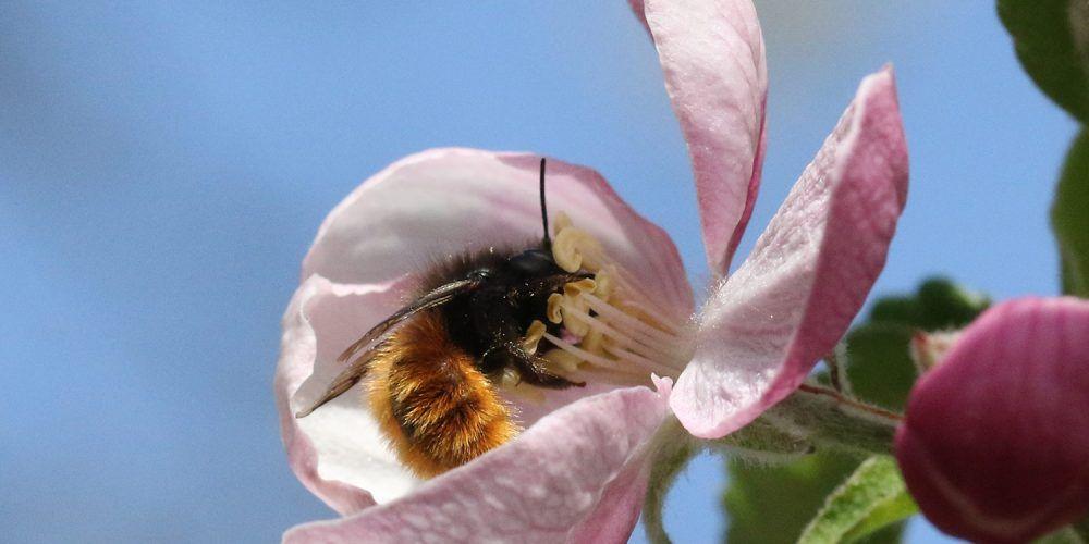 Wildbiene an einem Stempel
