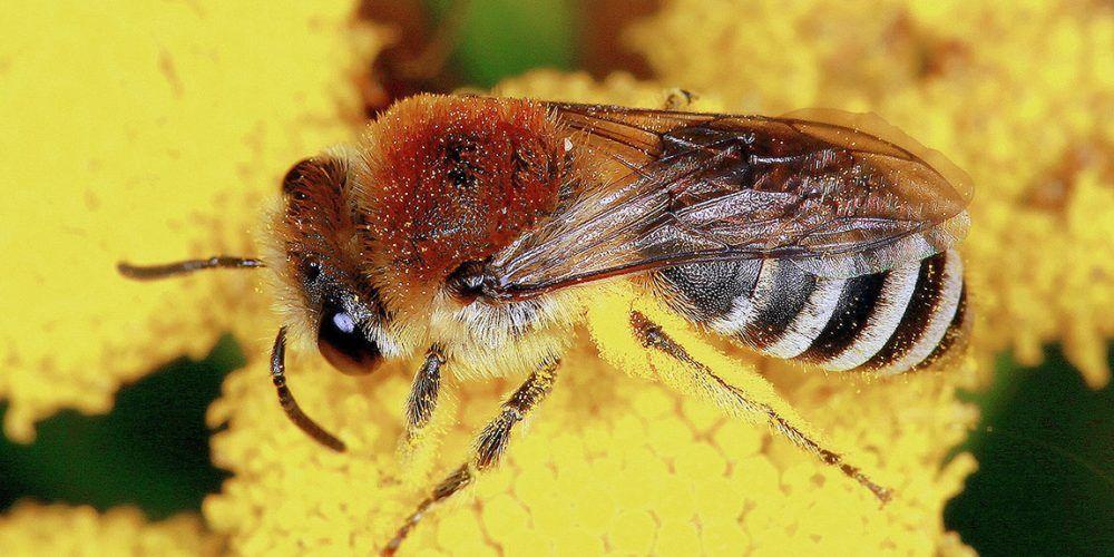Bestäubte Wildbiene