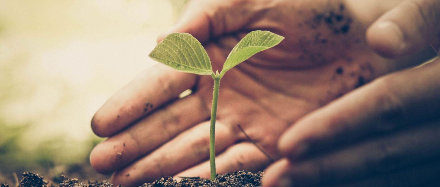 Pflanzensetzling in der Erde, der von zwei Händen umschlossen wird