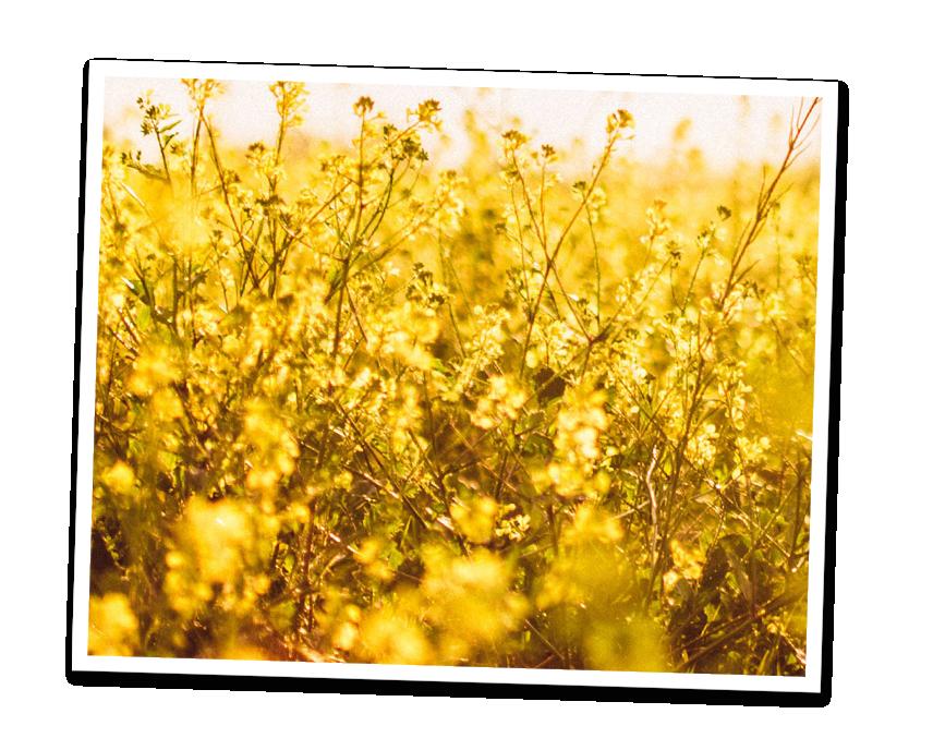 Feld mit gelben Blumen