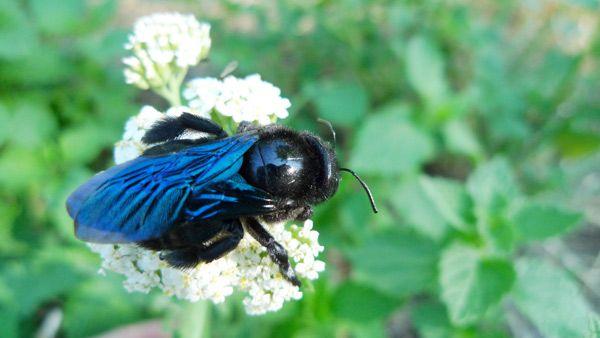 Blaue Holzbiene sitzt auf Blume